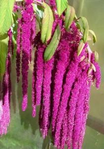 amaranto superalimento para adelgazar