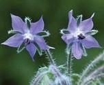 flor de borraja