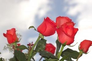 aceite esencial de rosa para reducir la ansiedad