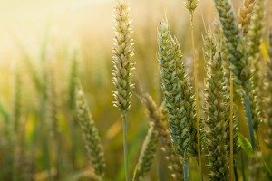 trigo engorda gluten índice glucémico